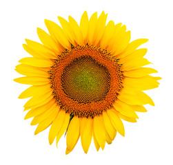 Sunflower isolated
