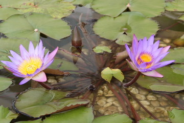 lotus, buddhist worship
