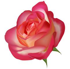 Beautiful tea rose. Vector.