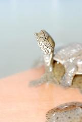 aquiculture  turtle