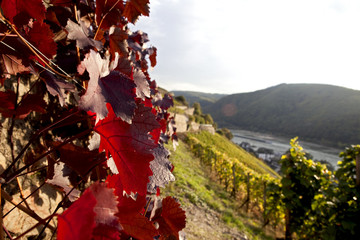 red leaves of vine with river, hills and vineyard