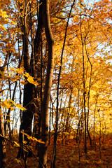 autumn trees in sunset light