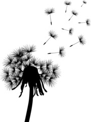 black dandelion plant