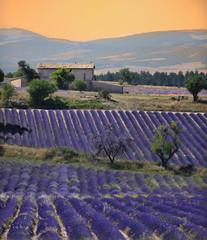 Tuinposter Lavendel maison dans son champs de lavande