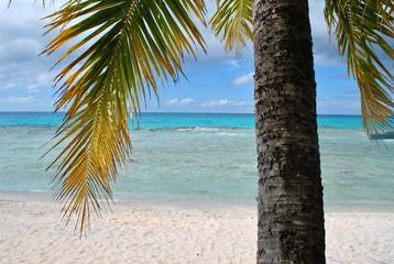 Cocotier Moorea - Polynesie