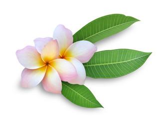 Frangipani (Plumeria) flower on white background