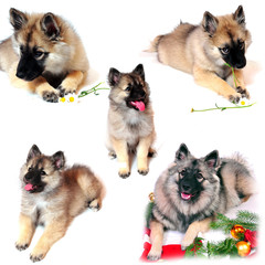 Hunde Wolfsspitz Welpen
