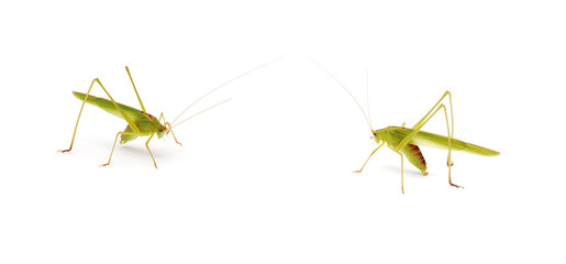 two grasshoppers