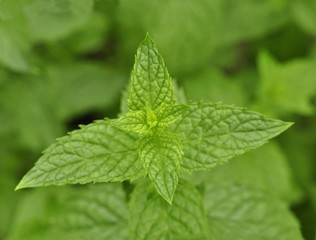 peppermint close up