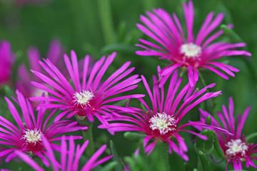 Delosperma Flower