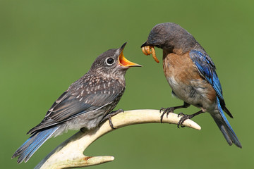 Fotoväggar - Female Eastern Bluebird Feeding A Baby