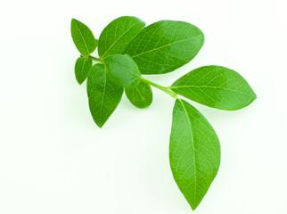 leaf blueberry