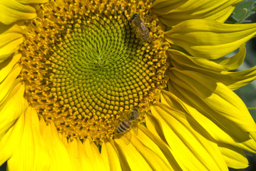 Sunflowers on a Tuscan Meadow