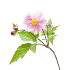 opened flower of japanese anemone (Anemone japonica), isolated