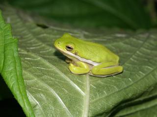 Green Treefrog (Hyla cinerea) - Illinois
