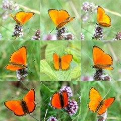 Nine scarce copper butterflies isolated on green