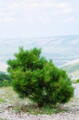 Pine tree in the mountains, Crimea, Ukraine