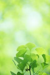 銀杏の新緑