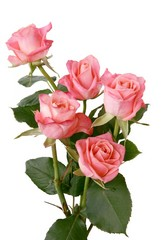 pink roses in posy