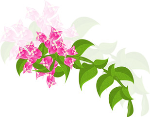 bougainvillea flowers with green leaves