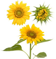 Set of the isolated sunflowers
