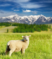 Wall Mural - Grazing lamb