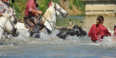 gardians et taureaux à l'eau