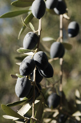 Bunch of Olives