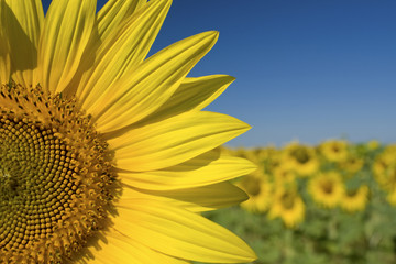 Sunflower, fields of sunflowers with blue summer sky. Provence.
