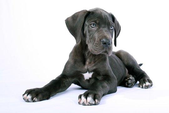 Liegende Deutsche Dogge