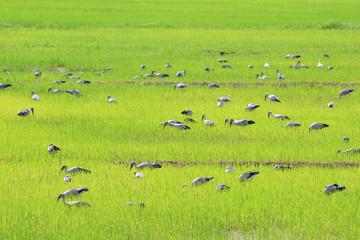 bird on rice field