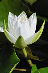 weisser Lotus