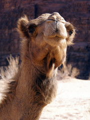 Cute face of camel
