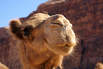 Head of camel