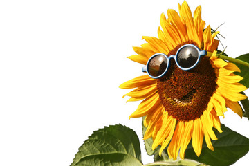 Sunflower with sunglasses, isolated
