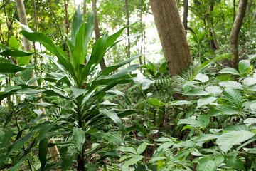 dracaena plants in rainforest