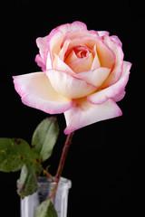 Pink Rose Flower Against Black