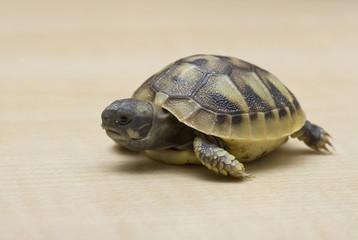Testudo hermanni - Griechische Landschildkröte