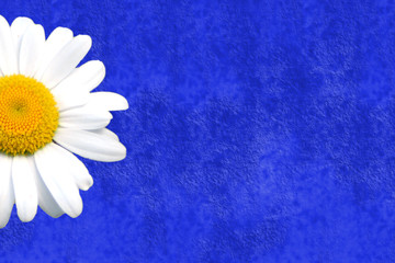 fondo tarjeta azul añil margarita