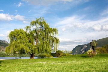 Willow tree in park