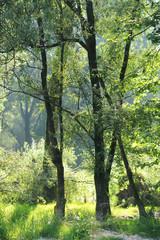 salici alberi 1089