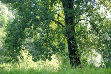 pioppi alberi 1097