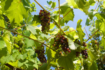 Ripening grapes on a vineyard in clear day