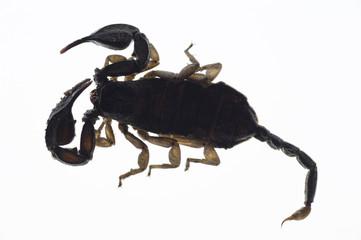 Skorpion lebendig