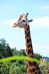 giraffes in the savanna