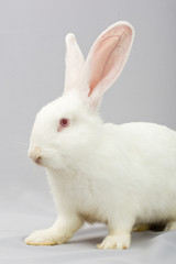White rabbit on a gray background