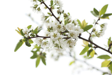 Wall Mural - White flowers blooming on tree branch. Shallow DOF.