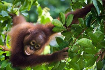 Little Orangutan on the tree. Borneo.Indonesia