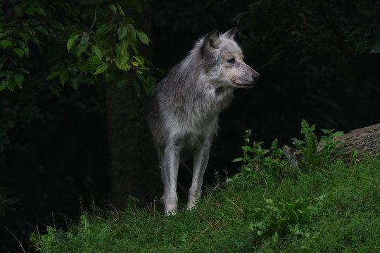 Wolf 9077