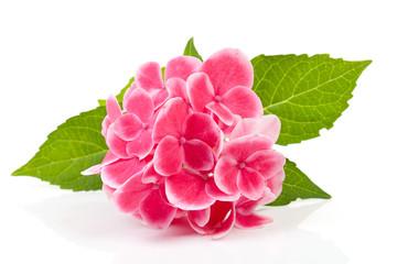 Photo sur Plexiglas Hortensia pink hydrangea flower over white background